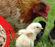 Tavuk Yumurta Yemi